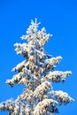 Spruce top with snow and frost tree against blue sky Stock Images