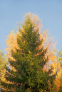 Spruce tree in autumn Royalty Free Stock Image
