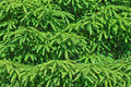 Spruce tree background Royalty Free Stock Photo