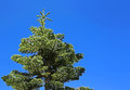 Spruce tree on blue sky view at clear Royalty Free Stock Images