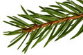 Spruce tree detail Royalty Free Stock Photography