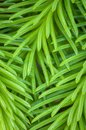 Macro of spruce tree needles
