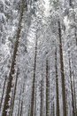 Spruce tree in snow woods winter forest Royalty Free Stock Photos