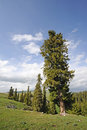 Spruce tree trees under blue sky Stock Images