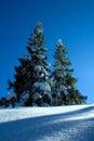 Spruce tree, trees on white sn Royalty Free Stock Photo