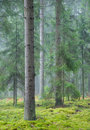 Spruce tree trunk aginst forest background Stock Image