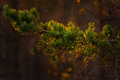 Spruce tree twig during sunset with warm golden colors Royalty Free Stock Photo
