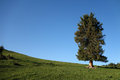 A spruce tree under blue sky Royalty Free Stock Images
