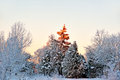 Spruce tree in winter landscape Royalty Free Stock Photography
