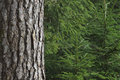 Spruce trees close up of Royalty Free Stock Photo