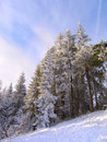 Spruce trees covered by snow Stock Photo