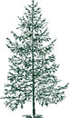 Spruce vector sketch of a fir tree Royalty Free Stock Image