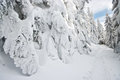 Spruces covered by snow Royalty Free Stock Photo