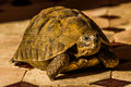 Spur thighed tortoise a beautiful little female in marrakech morocco Royalty Free Stock Photos