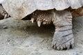 Spur-Thighed Tortoise Leg
