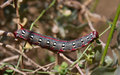 Spurge hawk moth caterpillar large Stock Photos