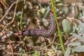 Spurge hawk moth caterpillar on plant large Stock Photography