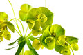 Spurge lustrous green plant with green flowers poisonous weed it is isolated on a white background Stock Image