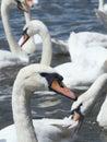 Squabbling swans Royalty Free Stock Photo