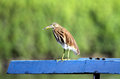 Squacco heron Stock Photo