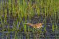 Squacco heron ardeola ralloides standing in a lake Royalty Free Stock Photo