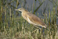 Squacco heron in the reeds a ardeola ralloides standing Stock Photo