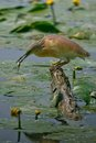 Squacco heron in the swamp of oasi lipu torrile italy Stock Photo
