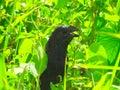 Squaking black bird in a green field