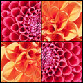 Square collage of orange and pink Dahlias Royalty Free Stock Photo