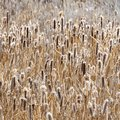 Square frame Close up view of tall and slim brown grasses growing abundantly outdoors Royalty Free Stock Photo