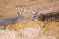 Square off of two dominant whitetail bucks Royalty Free Stock Photo