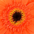 Square orange gerber flower macro gerbera marigold center Royalty Free Stock Images