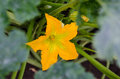Squash flower bright yellow in the garden Royalty Free Stock Image