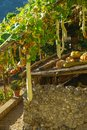 Squash and Pumpkins on vines in Ravello, Italy