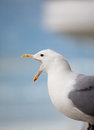 Squawking seagull Royalty Free Stock Photo
