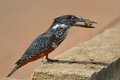Squeese giant kingfisher with small crab in beak Royalty Free Stock Photos