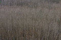 Squeezed texture of trees black poplar forest in region el bierzo spain Stock Image