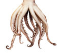 Squid boiled tentacles Royalty Free Stock Photo