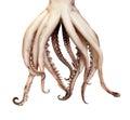 Squid boiled tentacles