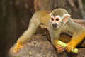 Squirel Monkey;a Common Squirrel Monkey Stock Photography