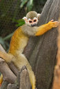 Squirel Monkey;a Common Squirrel Monkey Stock Images