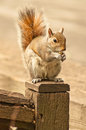 Squirell on a post eating nut and sitting Stock Photography