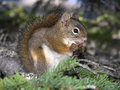 Squirell squirrel eating in a pine tree canada Stock Photos