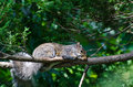 A squirrel's nap time in the boughs Royalty Free Stock Image