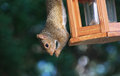 Squirrel amen amen amen hanging from a bird feeder with food in his paws like he is praying Royalty Free Stock Image