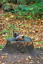 Squirrel in autumn Kuskovo park in Moscow.