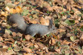 Squirrel on autumn leaves Royalty Free Stock Photo