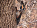 Squirrel a with beautful ears on the tree Royalty Free Stock Images