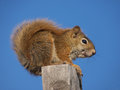 Squirrel a brown sitting on a fence post with clear blue sky Stock Photos