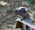 Squirrel on Chair Stock Photography